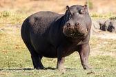 Hippo - Chobe River, Botswana, Africa — Stock Photo
