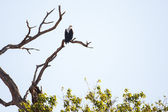 Fish Eagle - Chobe N.P. Botswana, Africa — Stock Photo