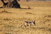Jackal - Chobe N.P. Botswana, Africa — Stock Photo