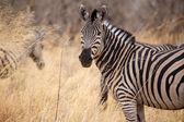 Zebra - Okavango Delta - Moremi N.P. — Foto de Stock