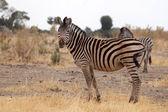 Zebra - Okavango Delta - Moremi N.P. — Stock Photo