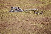 Hippo - Okavango Delta - Moremi N.P. — Stock Photo