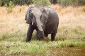 Elefante - delta do okavango - moremi n. p. — Foto Stock