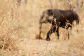 Elephant - Okavango Delta - Moremi N.P. — Stock Photo