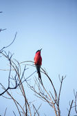Southern Carmine Bee-eater - Okavango Delta - Moremi N.P. — Stock Photo