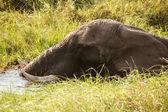 Elephant - Okavango Delta, Africa — Stock Photo