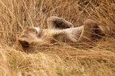 Lion - Okavango Delta - Moremi N.P. — Foto de Stock