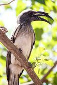 African Grey Hornbill - Okavango Delta - Moremi N.P. — Stock Photo