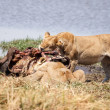 Lion - Okavango Delta - Moremi N.P. — Stock Photo