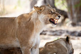 Lion Jaws - Okavango Delta - Moremi N.P. — Stock Photo