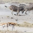 Zebra Fight - Etosha, Namibia — Stock Photo