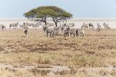 Cebra - etosha, namibia — Foto de Stock