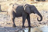 Elefante - etosha Parque de safari en namibia — Foto de Stock