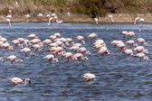Flamingo - Namibia — Stock Photo