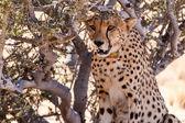 Cheetah in Sossusvlei, Namibia — Stock Photo