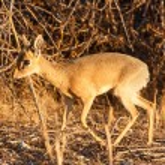 Dik Dik - Etosha Safari Park in Namibia — Stock Photo #48163945