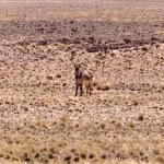 Mountain Zebra at Sossusvlei, Namibia — Stock Photo #48164331