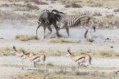斑马战斗-埃托沙、 纳米比亚 — 图库照片