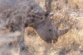 Black Rhino - Etosha Safari Park in Namibia — Stock Photo