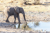 Elephant - Etosha Safari Park in Namibia — Stock Photo