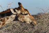 Giraffe Eating - Etosha Safari Park in Namibia — Stock Photo