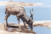Kudu - Etosha Safari Park in Namibia — Stock Photo