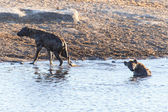 Hyena at Water Hole - Etosha Safari Park in Namibia — Stock Photo