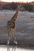 Giraffe - Etosha Safari Park in Namibia — Stock Photo
