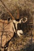 Oryx - etkin safari park Namibya — Stok fotoğraf