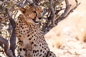 Cheetah in Sossusvlei, Namibia — Stock Photo