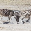Постер, плакат: Two Zebras Fighting