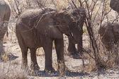 Young Elephants in Safari Park — Stock Photo
