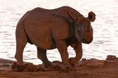 Black Rhino in Safari Park — Stock Photo