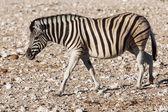 Zebra in Etosha National Park — Stock Photo