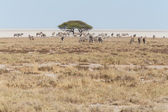 Zebras in Etosha National Park — Stock Photo