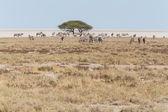 Zebras in Etosha National Park — Stock Photo