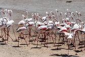 Flamingo Birds in Walvis Bay — Stock Photo