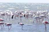 Flamingo Birds in Walvis Bay — Foto de Stock