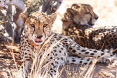 Cheetah in Sossusvlei — Stock Photo