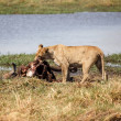 Lion Eating Buffalo — Stock Photo