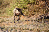 Wild Dog at Okavango Delta — 图库照片