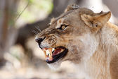 Lion Growl at Okavango Delta — Stock Photo