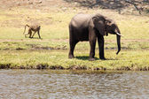Wild Elephant in Chobe River — Stock Photo
