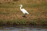 Great White Egret — Stock Photo