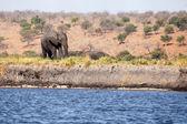 Elefant på chobe river — Stockfoto