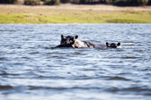 Hippopotamus in Chobe River — Stock Photo