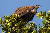 White Backed Vulture Bird — Stock Photo