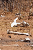 Remains of Kill in Chobe — Stock Photo