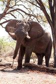Elefante macho em chobe — Fotografia Stock