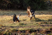 African Fish Eagles — Stock Photo